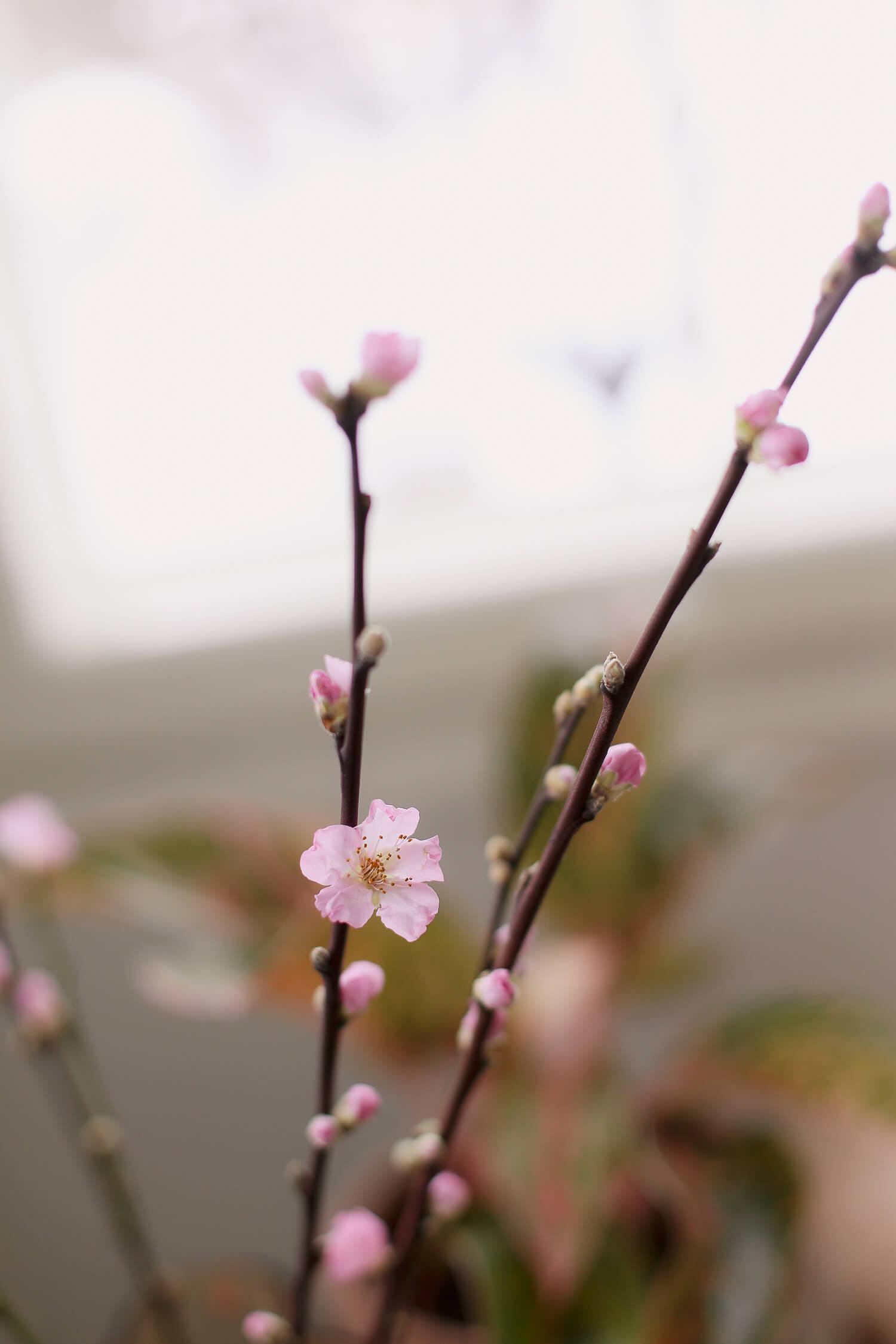 Vaaleanpunainen kirsikanoksa on keväinen kukkiva oksa jonka voi laittaa maljakkoon.