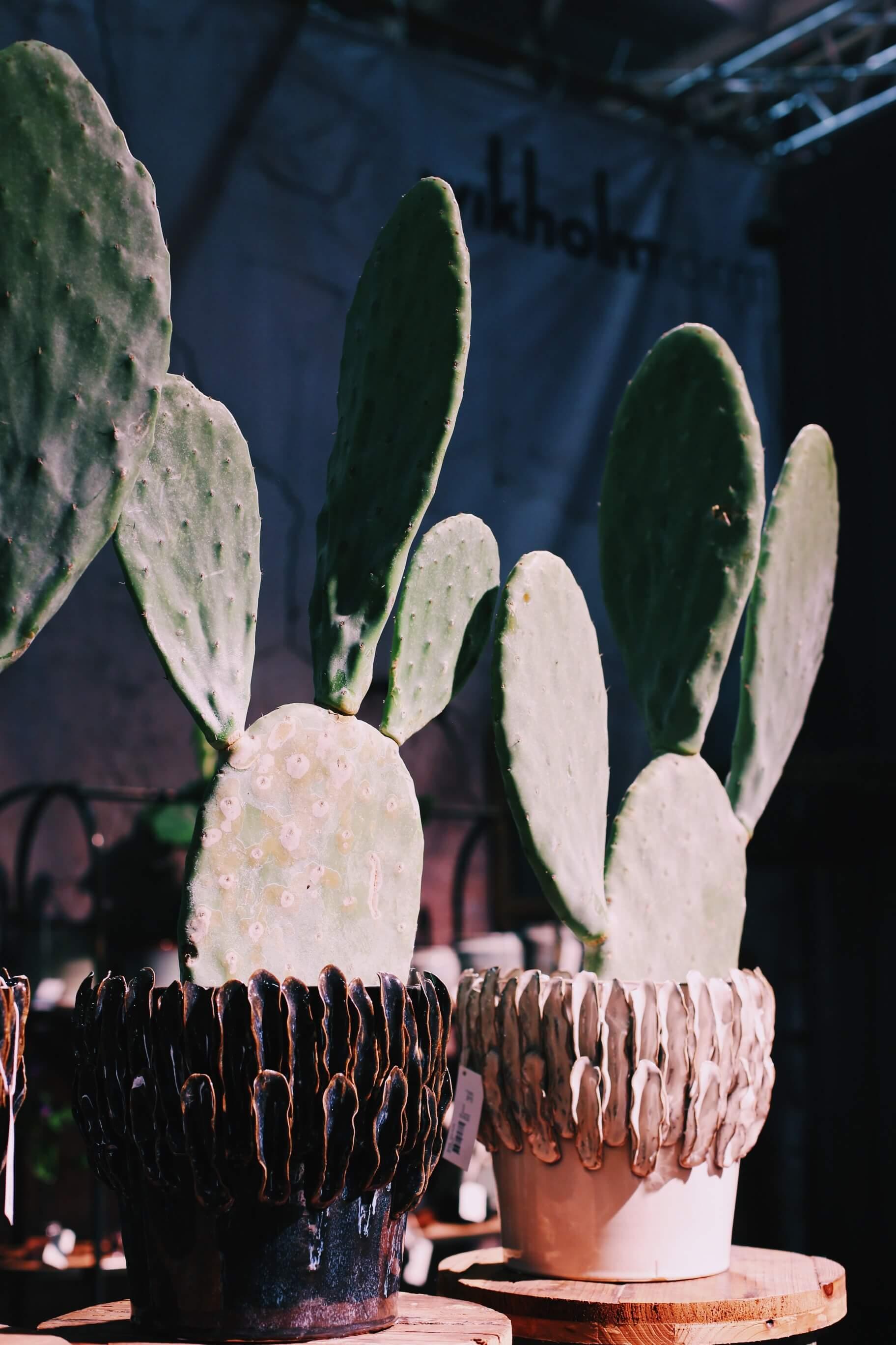 Suuri kaktus on näyttävä sisustuselementti, ruukku on kuin käsintehty.