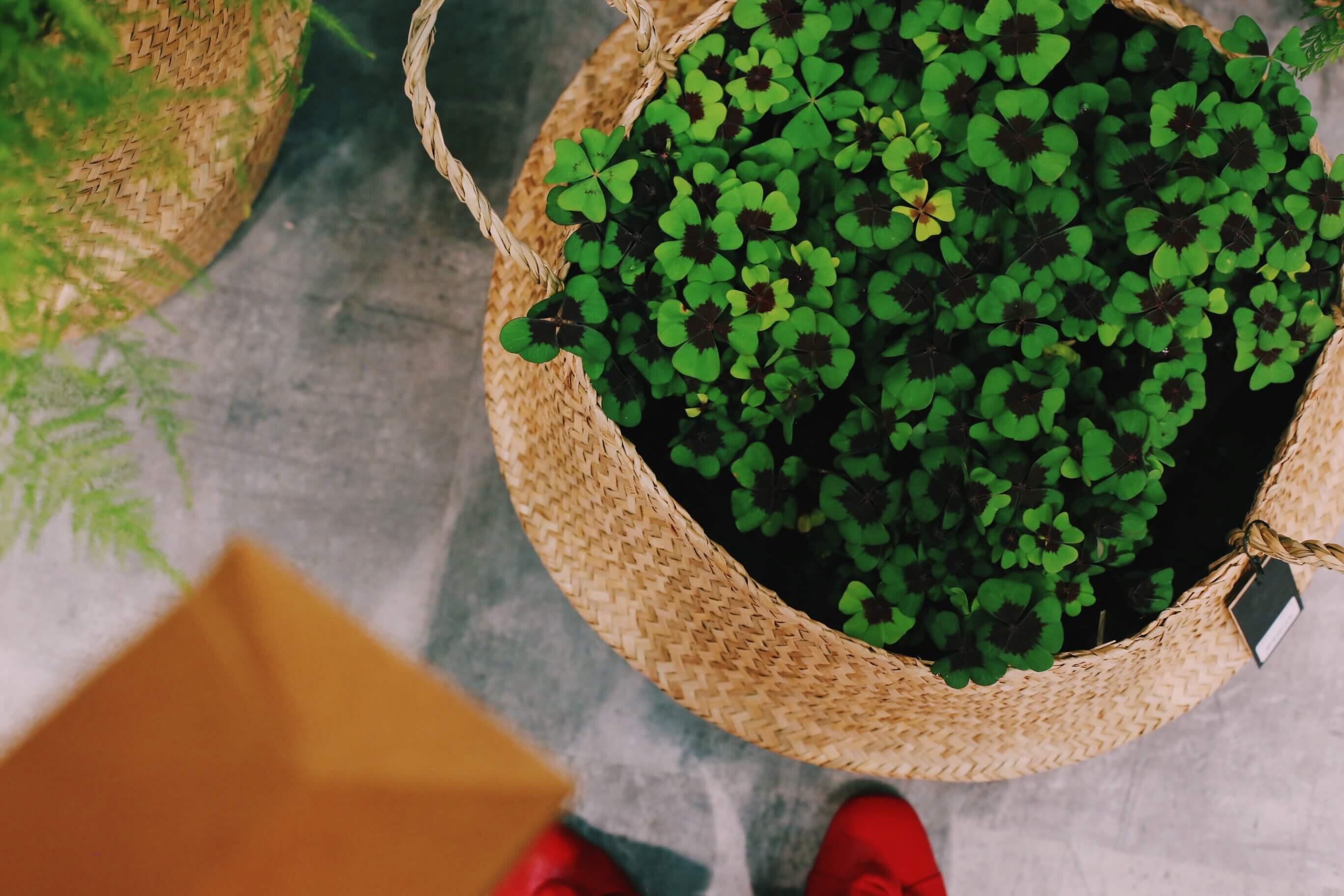 Matalat kasvit isossa korissa, onnenapila ja erilaiset sukkulentit näyttävät hyvältä isona pintana.