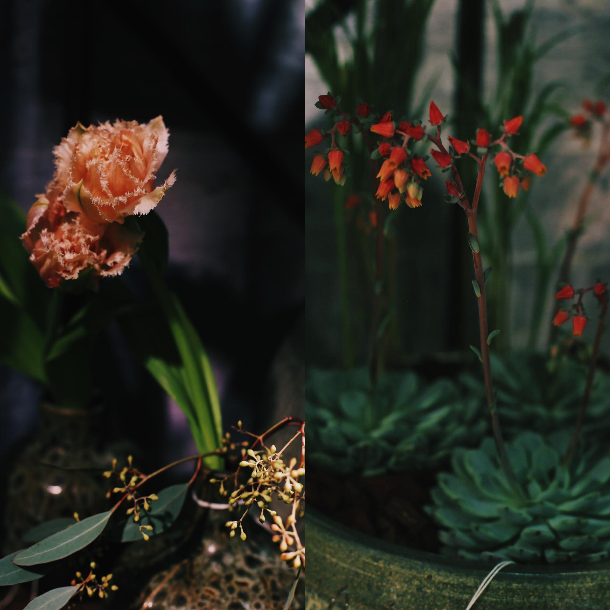 Korallin väri näkyy kukissa vahvasti. Ihana ripsureunainen tulppaani ja mehiruusuke oranssihtavalla kukinnolla tämän vuoden trendivärissä.