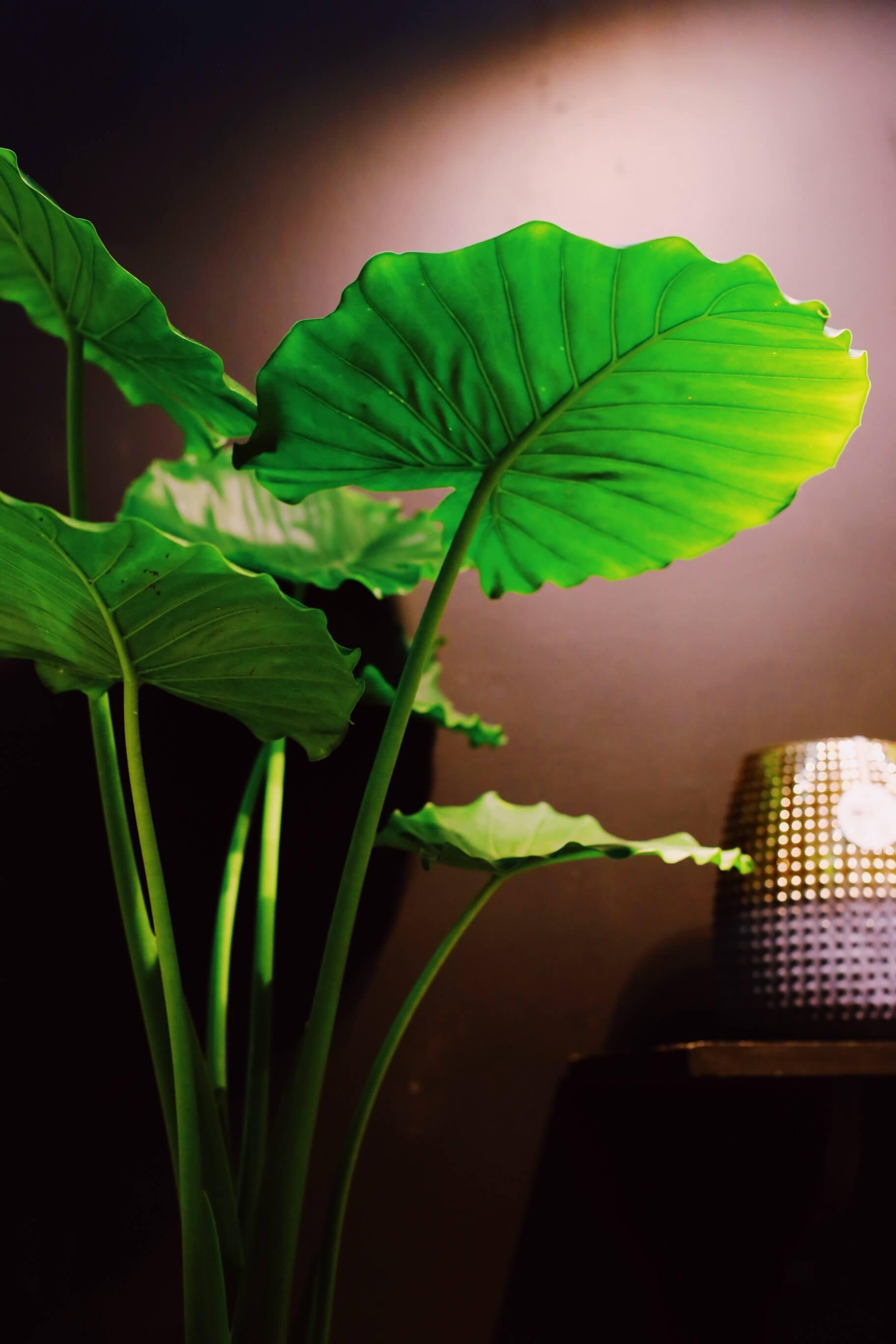 Nosta isolehtinen vehka korkealle ja valaise päältäpäin, saat aivan uuden näkökulman uljaaseen kasviin.