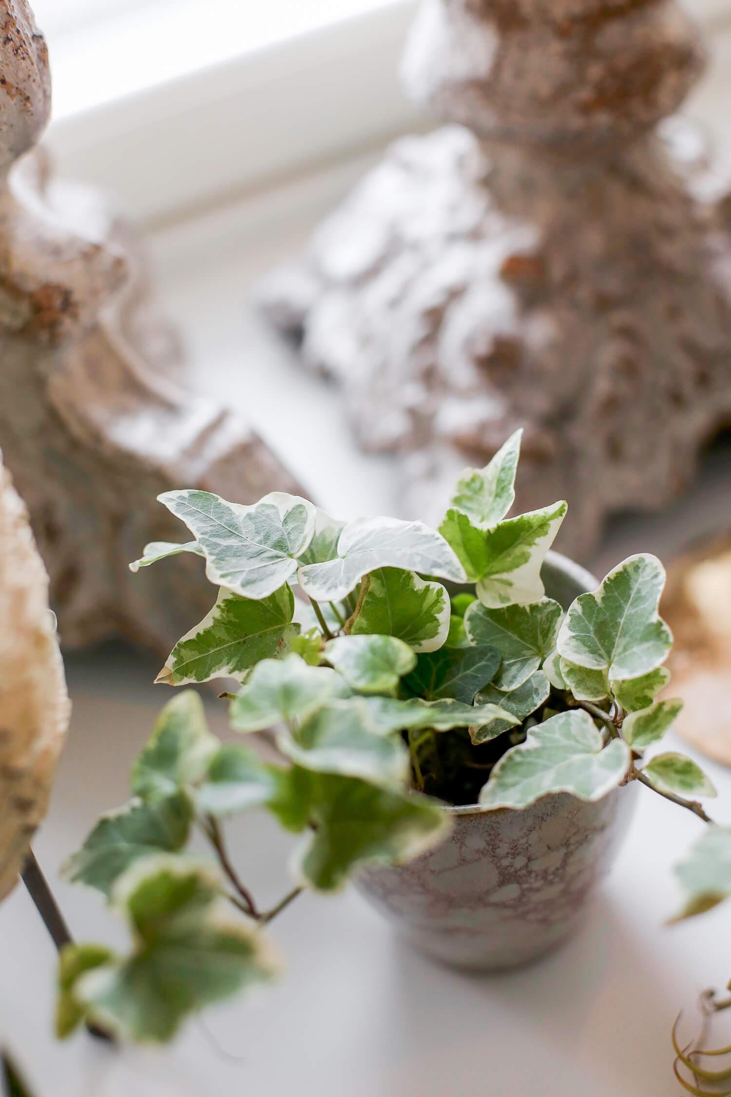 Muki voi toimia loistavasti suojaruukkuna pienille kasveille, kuten tässä valkovihreälle muratille.