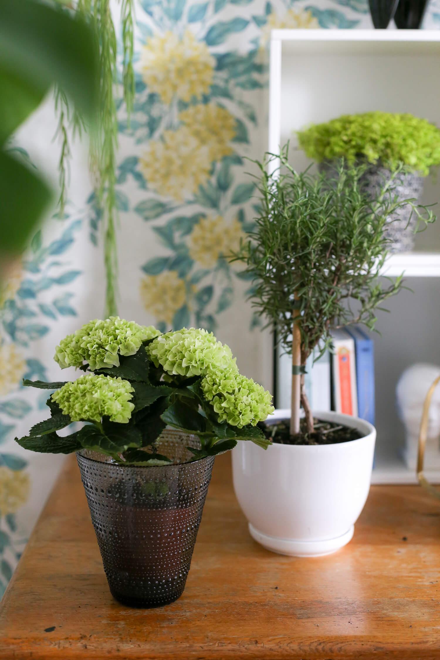 ruukkukortensia on kaunis vihreä kukkiva ruukkukukka.