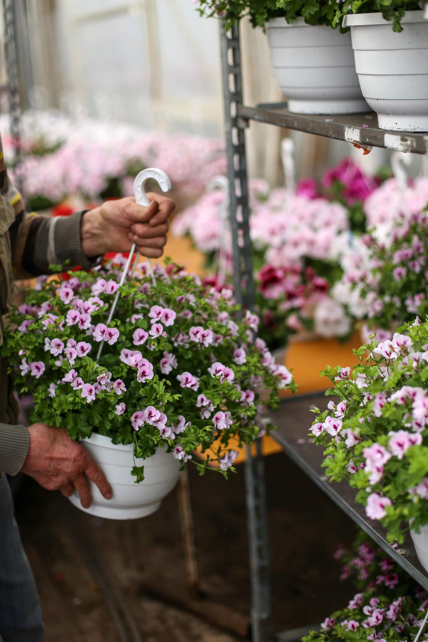 Englantilainen pelargonia muistuttaa kukaltaan hiukan orvokkia.