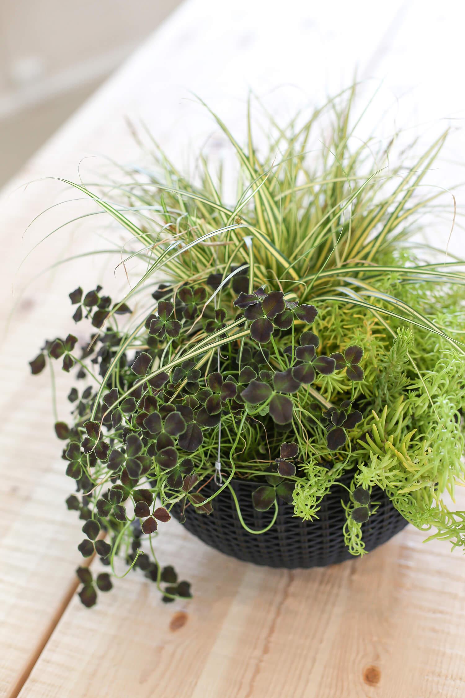Aivan ihana vihreä lahja äidille on istutus, jossa muunmuassa tummanpuhuvaa koristeapilaa.