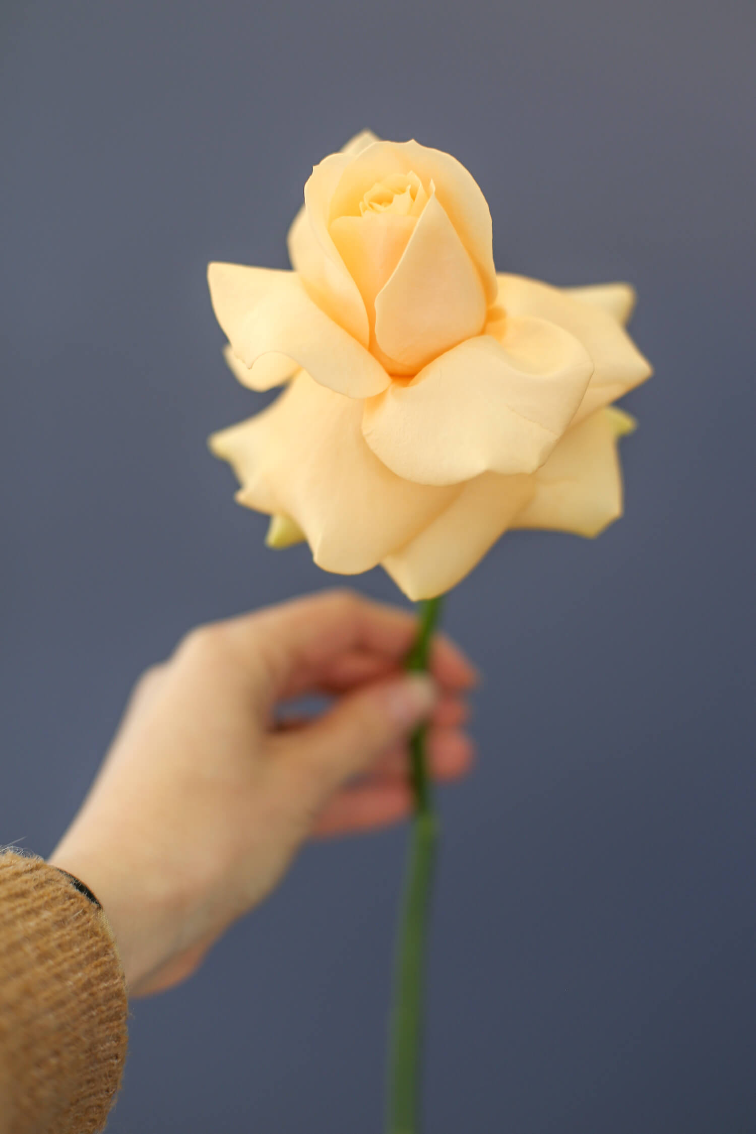 Kiva tapa käyttää ruusua on kääntää terälehset hellävaraisesti auki. Kukka saa tyystin toisen ilmeen.