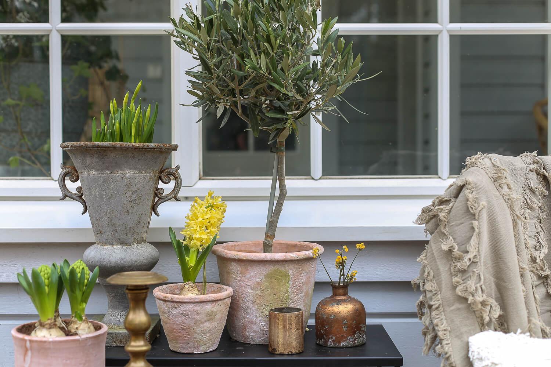 Saviruukkuihin on aseteltu oliivipuu, narsissi ja keltaisia hyasintteja.