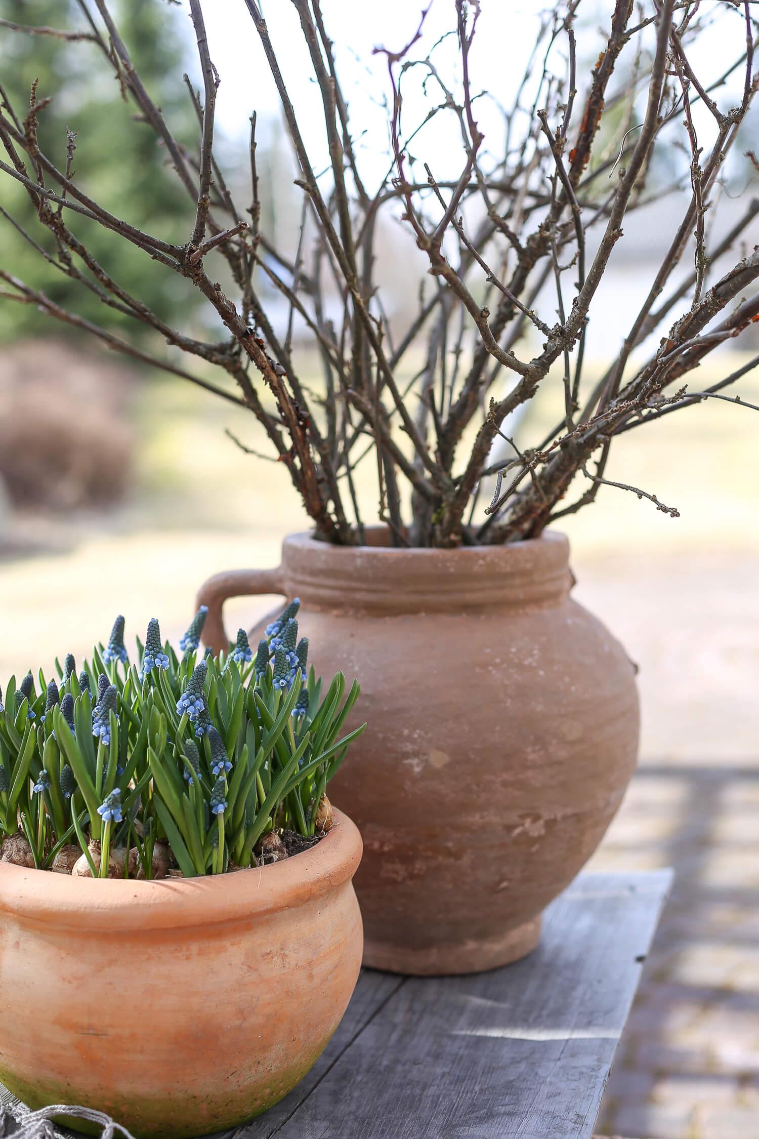 Isoon saviruukkuun on kerätty mustaherukan oksia koristeeksi.