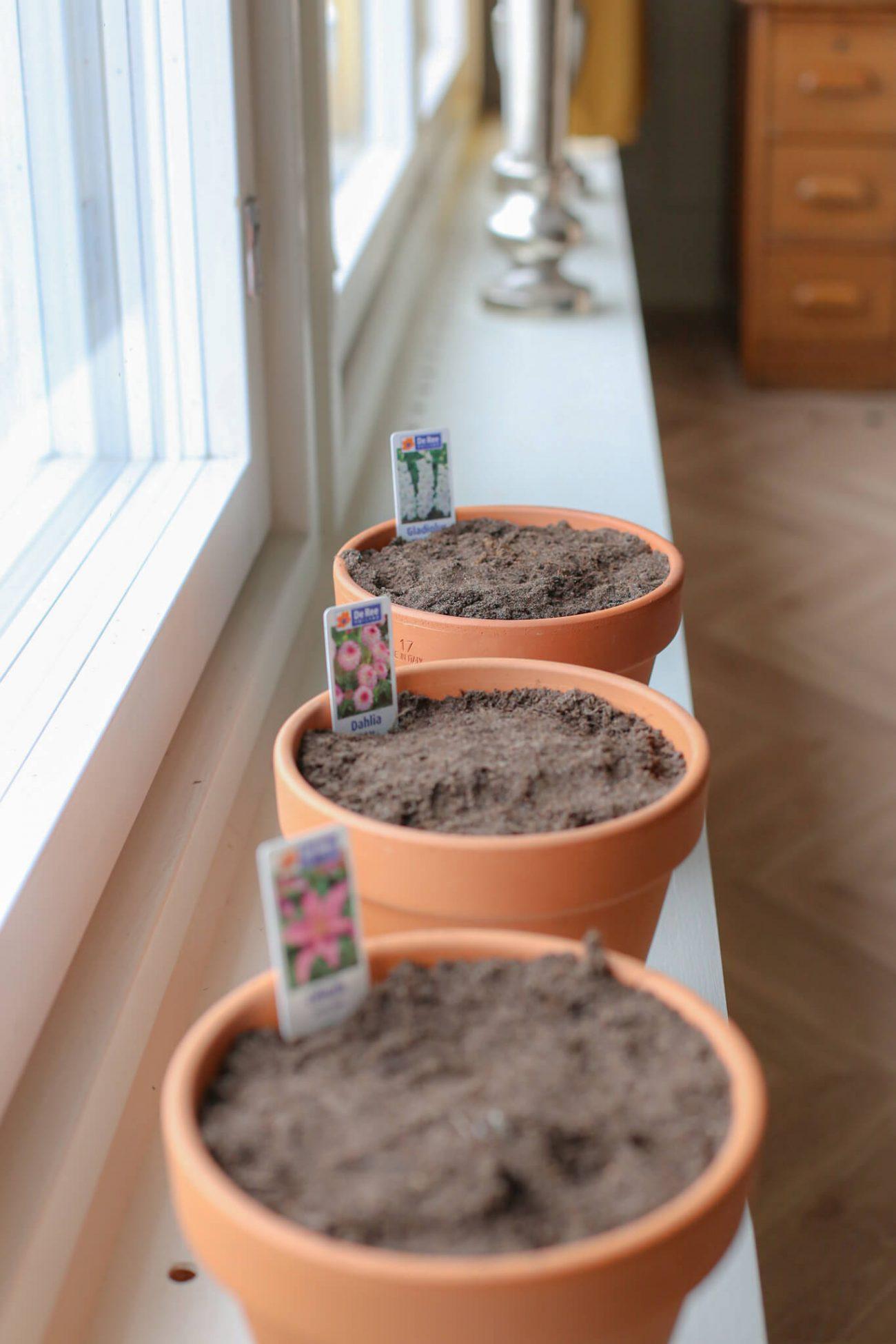 Laita kukkasipulit valoisaan paikkaan ja huolehdi kastelusta.