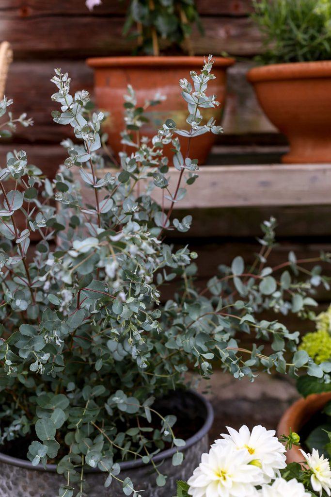 eukalyptus sopii ruukkukukaksi ulos ja se kasvaa isoksikin