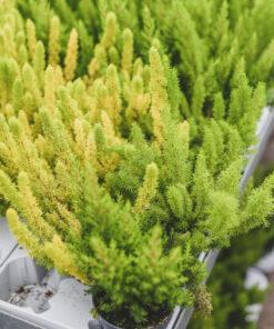 Kanerva vihreä